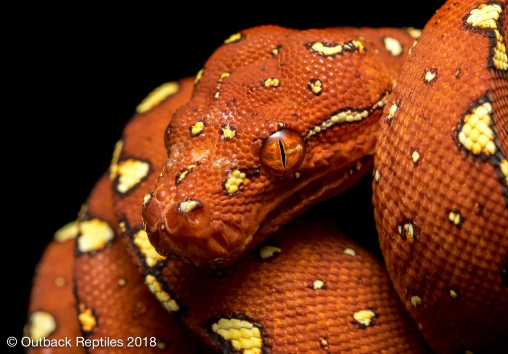 Biak Green Tree Python for sale - Morelia viridis