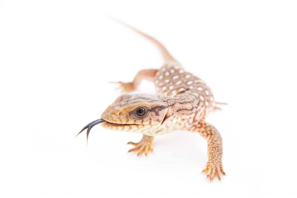 Baby Savannah Monitor for sale