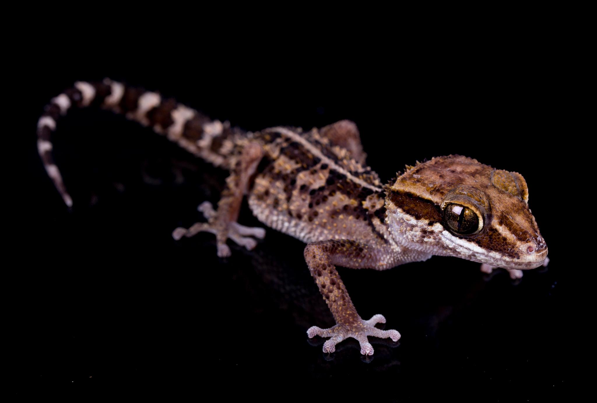 Stumpff's Ground Gecko - Paroedura stumpffi