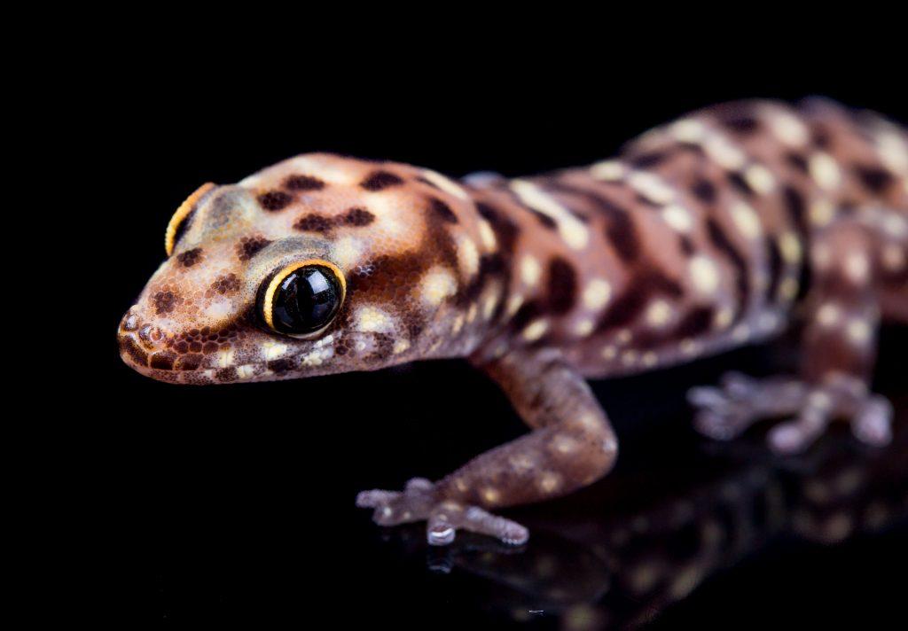 Tiger Gecko - Pachydactylus tigrinus