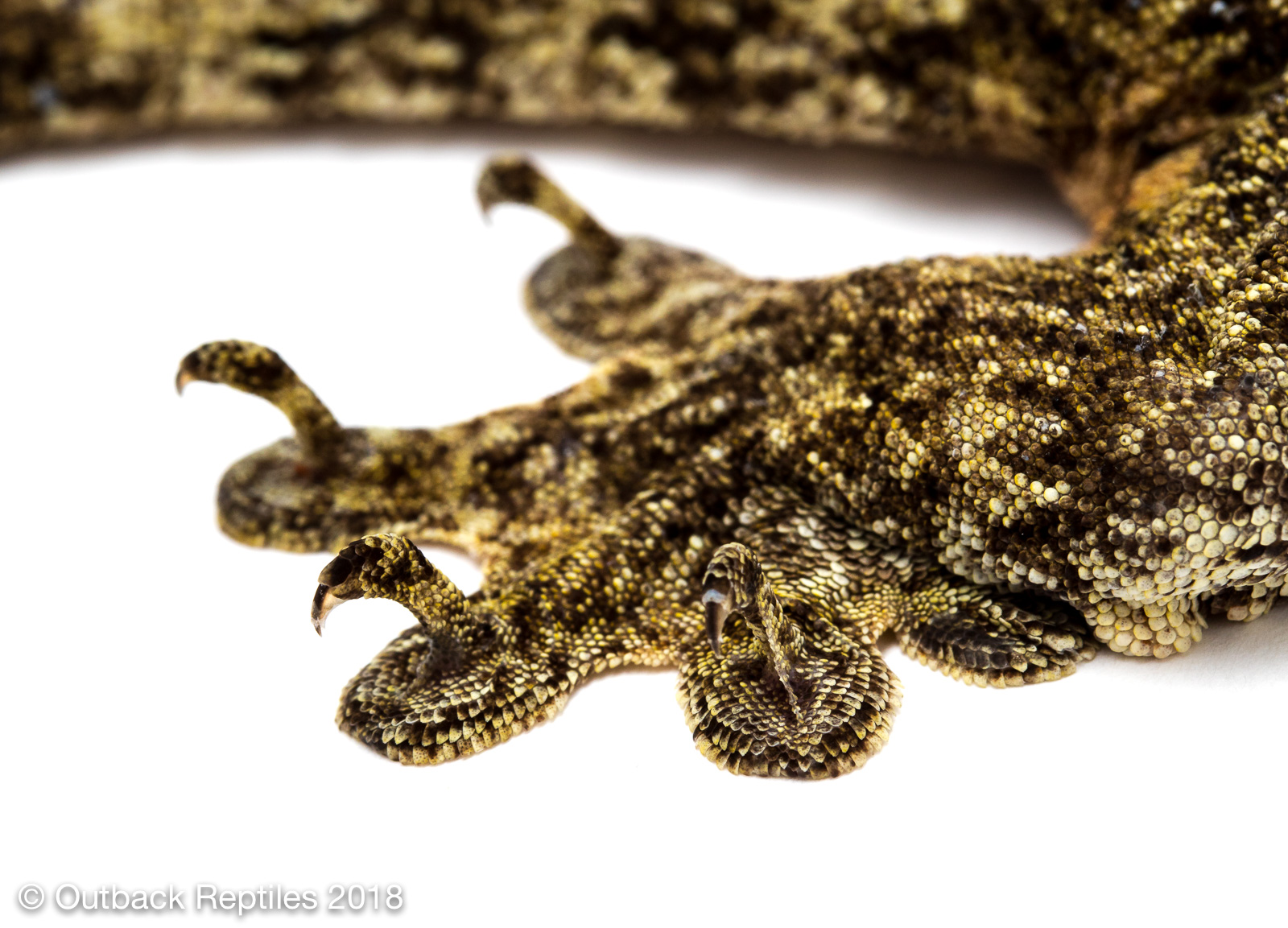 Vorax Gecko - Giant Halmahera Gecko - Gehyra marginata