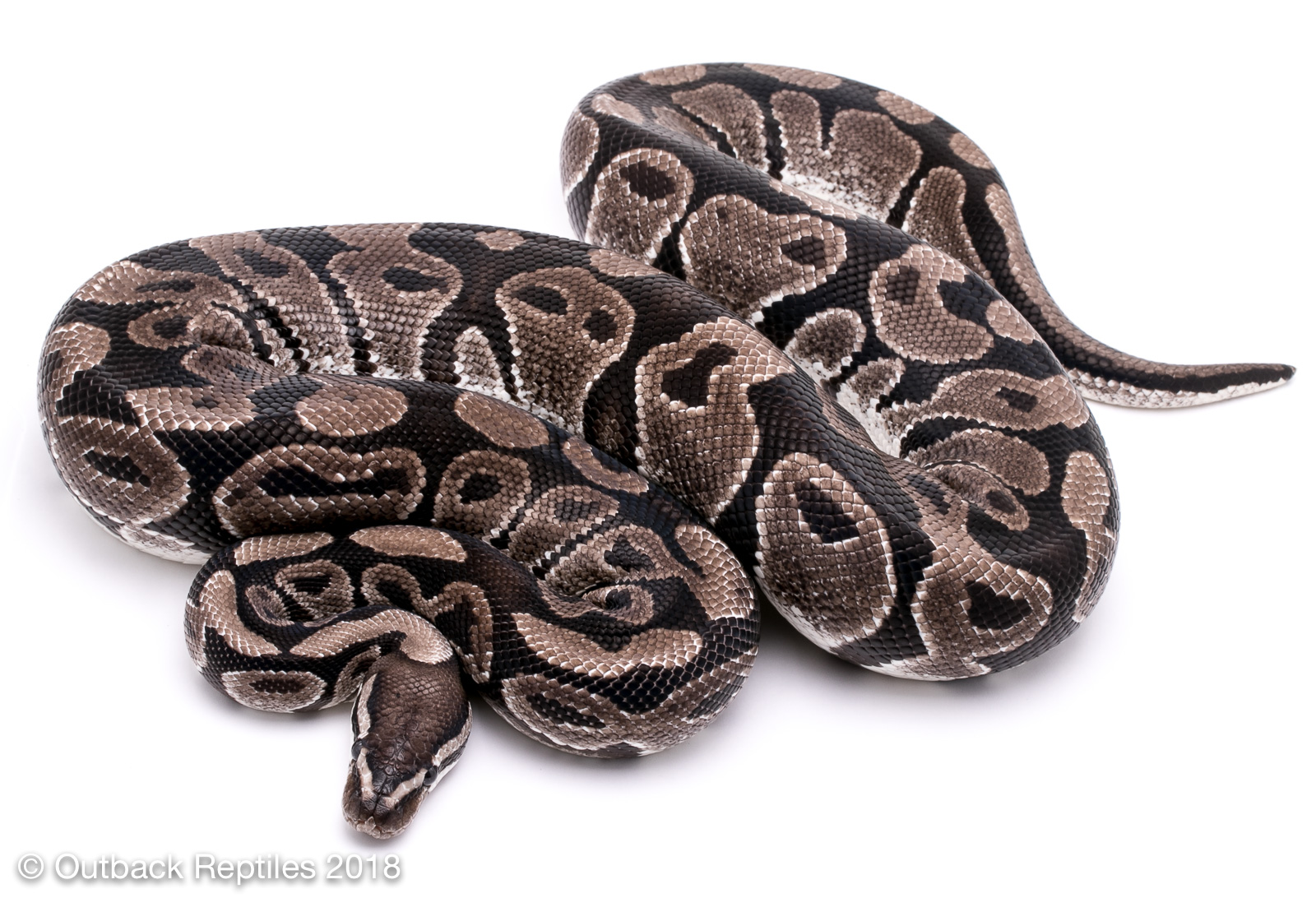 vpi axanthic male | Outback Reptiles