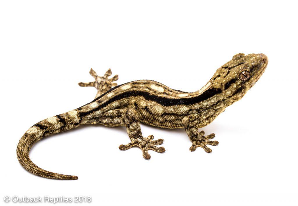 Wahlberg's gecko - Homopholis wahlbergii