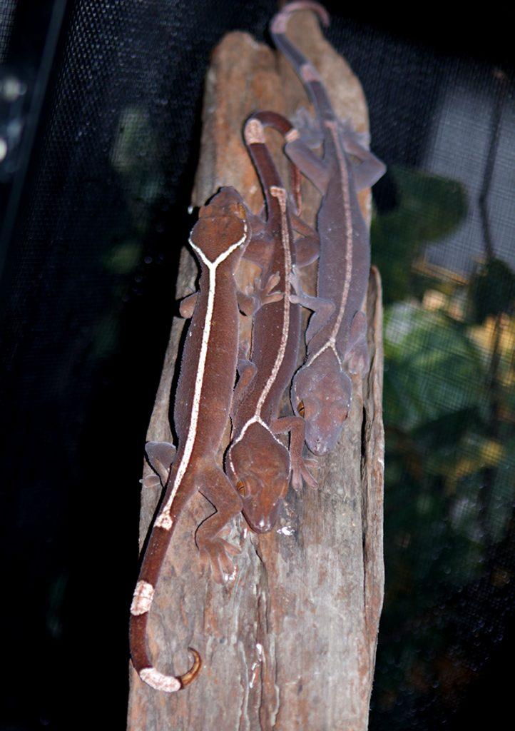 White Lined Gecko - Gecko vittatus