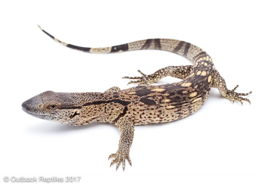 White Throat Monitor - Varanus albigolaris