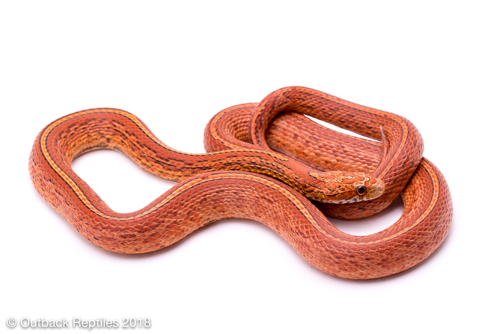 Tessera Corn Snake for Sale | Outback Reptiles