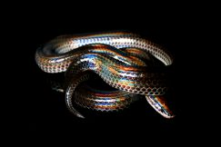Sunbeam snakes for sale at outback reptiles. Buy sunbeam snakes today!