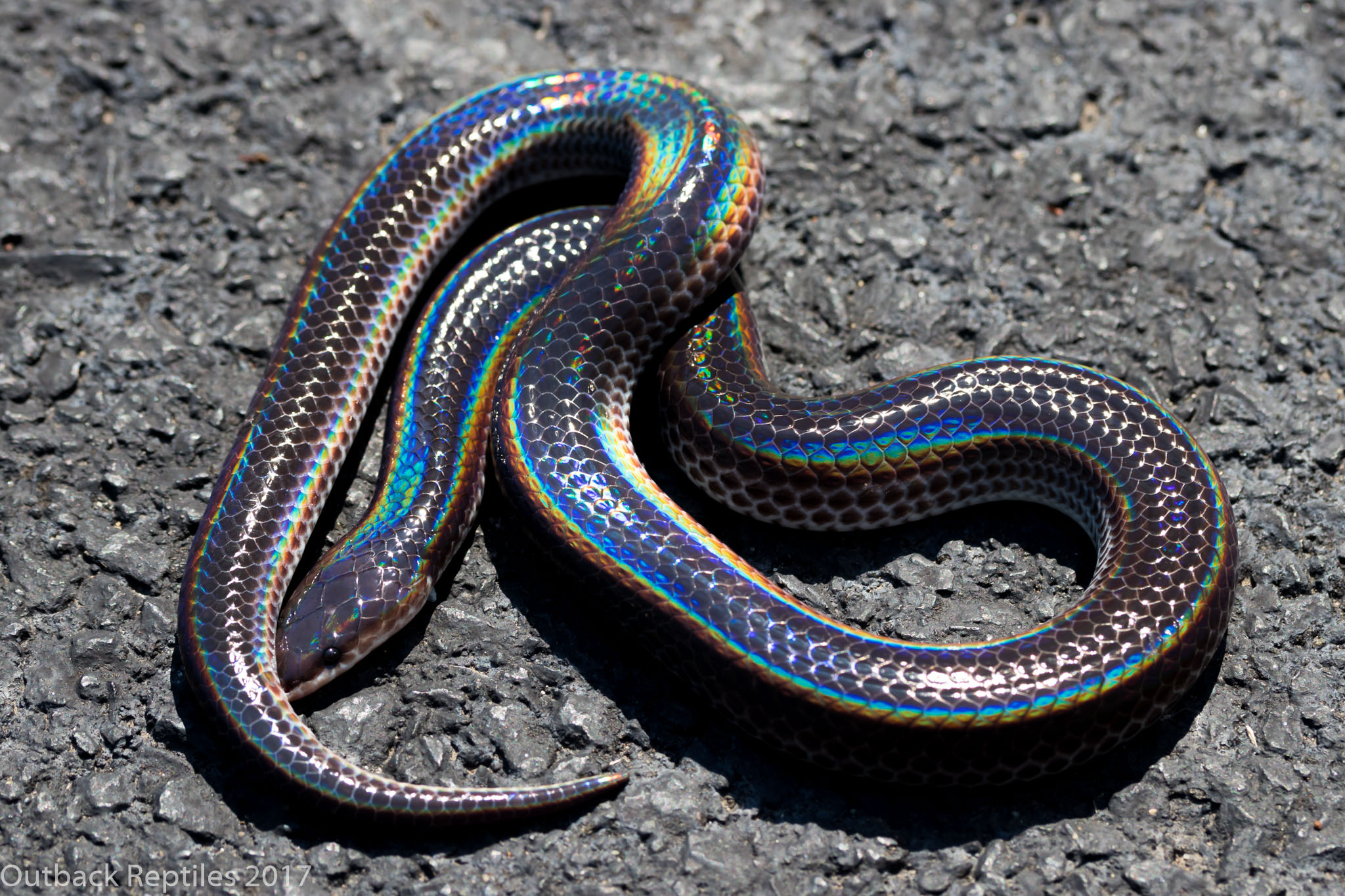 Sunbeam Snake
