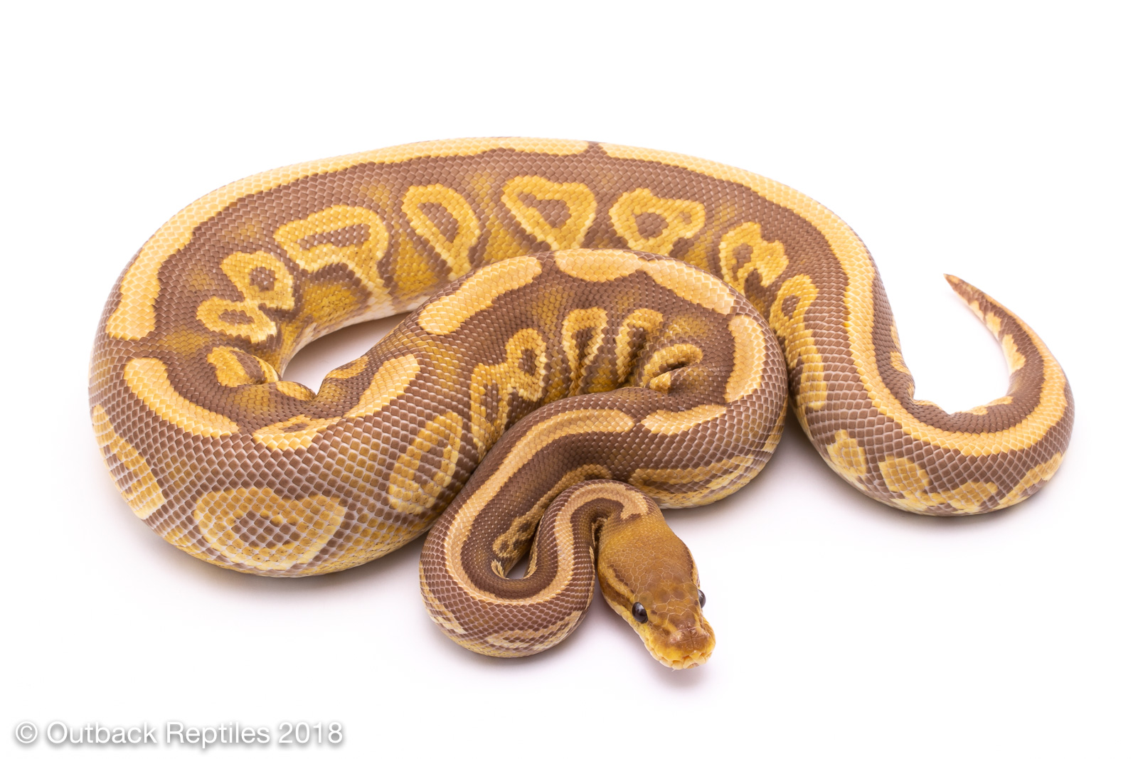 outback reptiles your reptile one stop shop outback reptiles