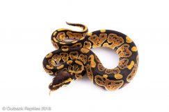 dinker ball python