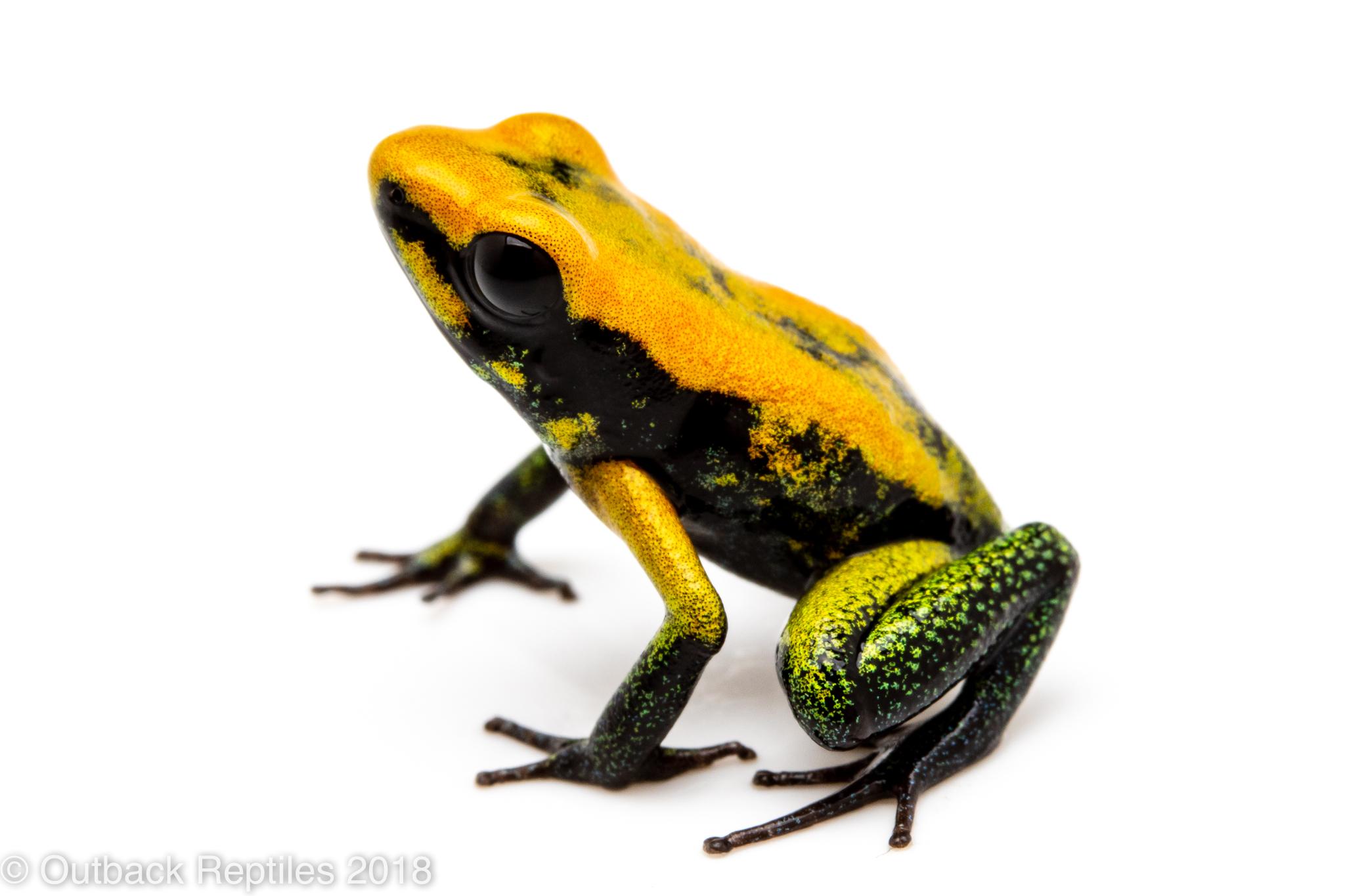 dart frog for sale
