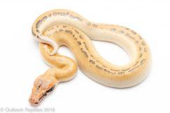 Ivory Blood Python