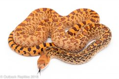 red bullsnake