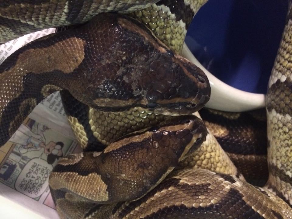 volta ball python heads