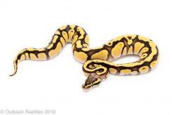 cypress firefly ball python