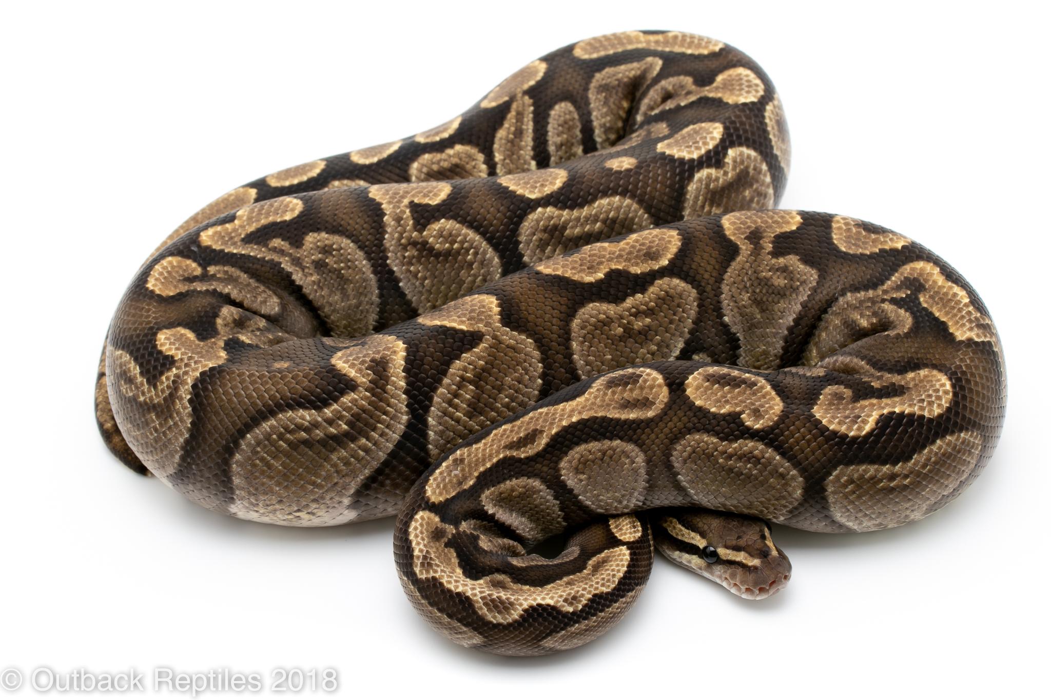 Adult GHI Ball python