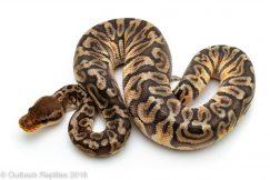 GHI Inferno ball python