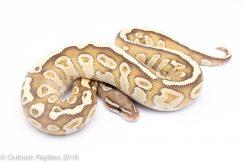 lesser fire ball python