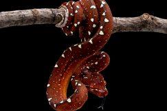red lereh green tree python