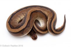 red stripe genetic stripe ball python