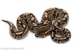 asphalt ball python
