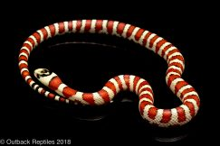 baubel arizona mountain kingsnake
