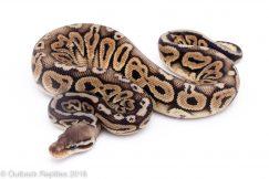 black pewter ball python