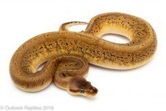 Lemon Blast Cinder Ball python