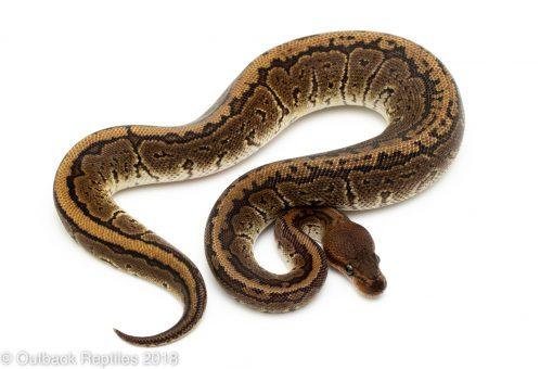 Pinstripe cinder ball python