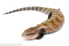 kei island blue tongue skink
