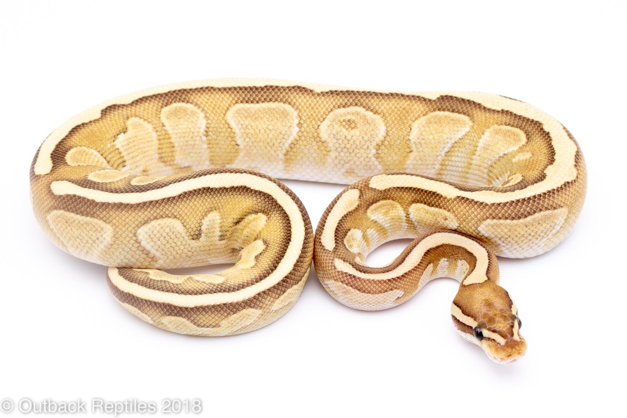 mojave vanilla het ghost female   Outback Reptiles