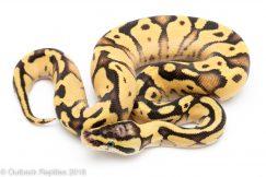 pastel enchi fire ball python