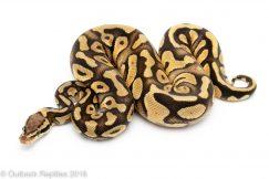 pastel phantom ball python