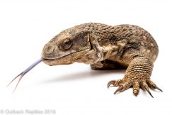 adult savannah monitor