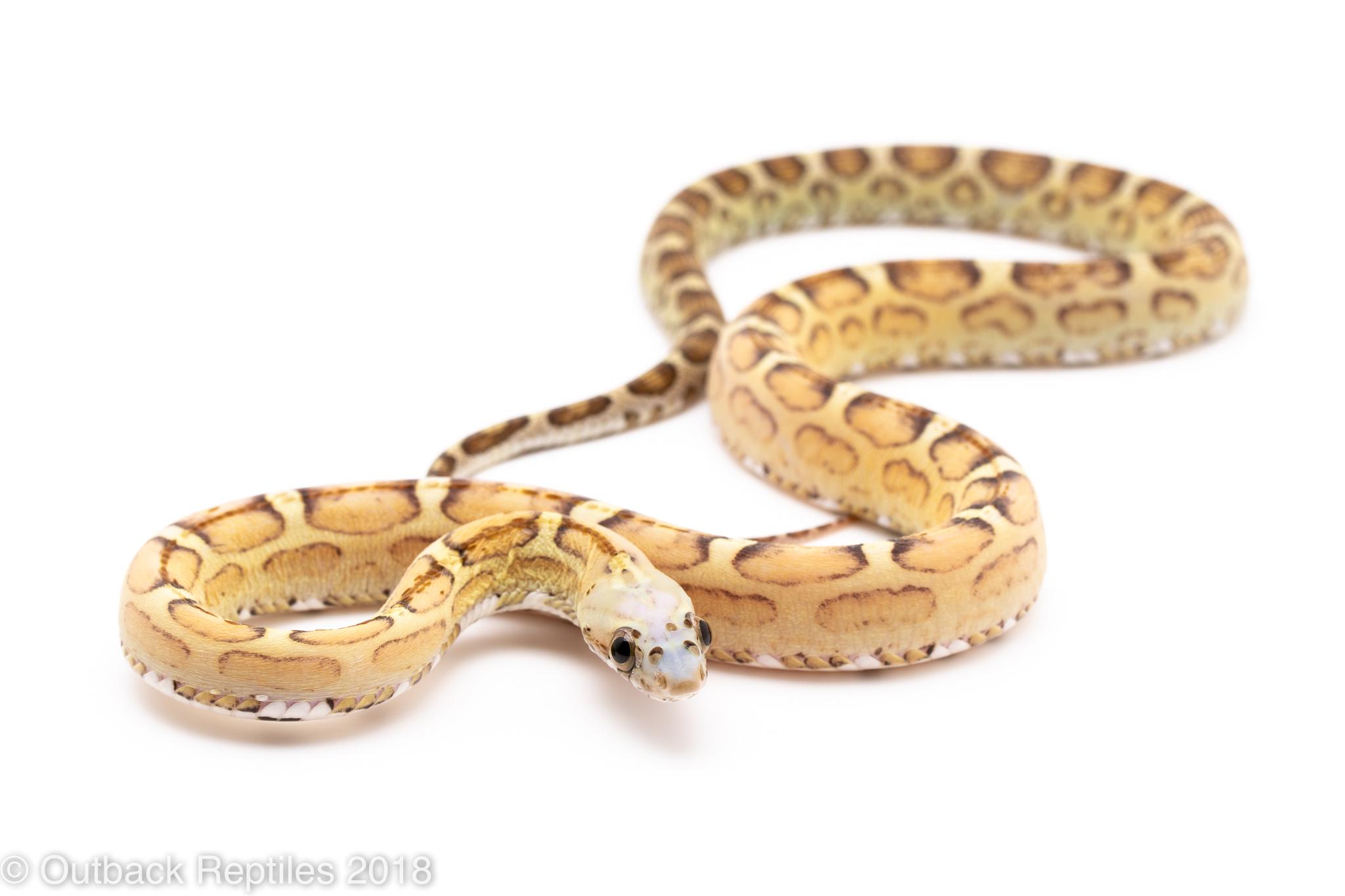 scaleless corn snake