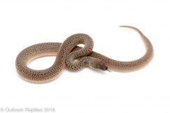 granite spotted python