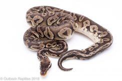 vanilla black pewter male