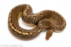 pinstripe yellowbelly ball python for sale