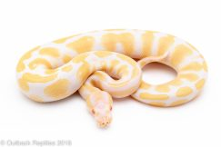 albino ball python for sale
