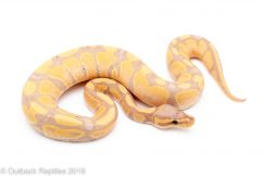 banana fire ball python for sale