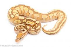 banana lesser ball python for sale