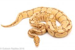 adult banana ball python for sale