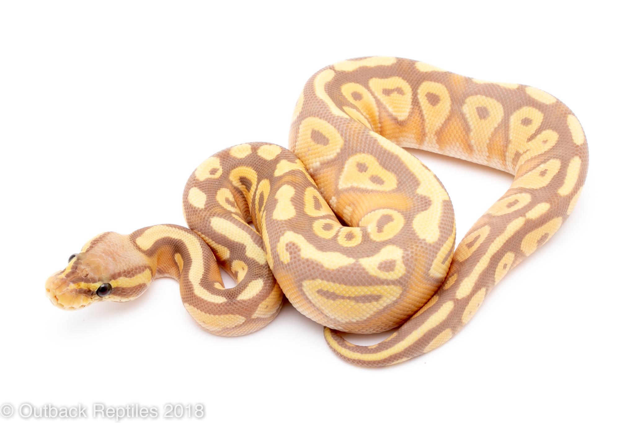 banana mojave ball python for sale