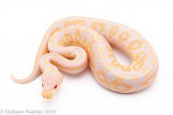 candino ball python for sale