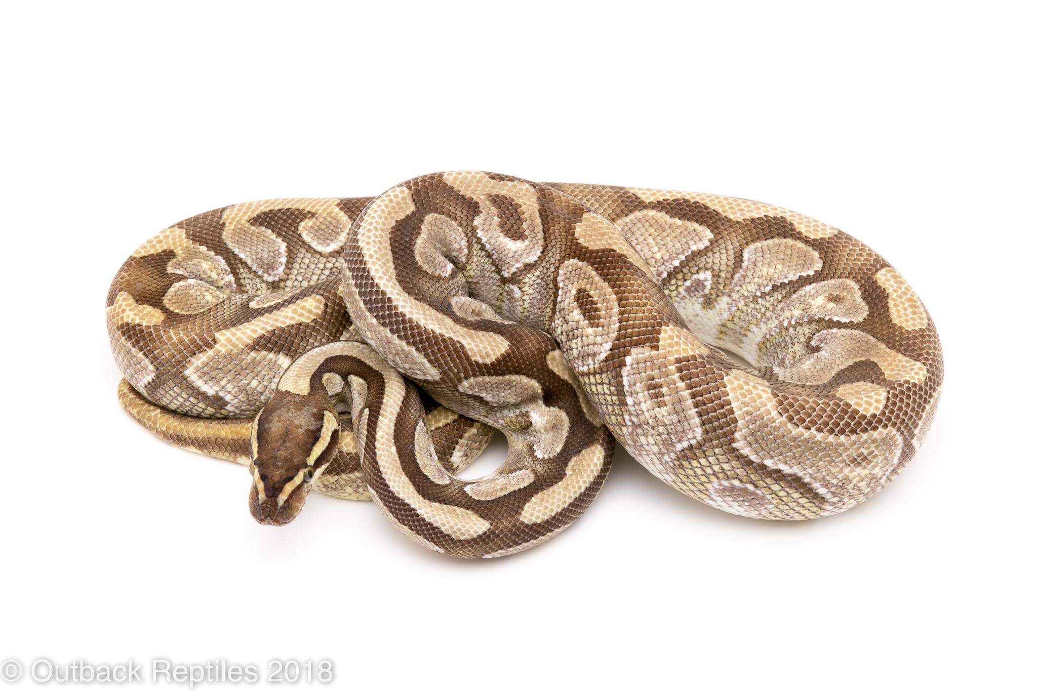 enchi mojave ball python for sale