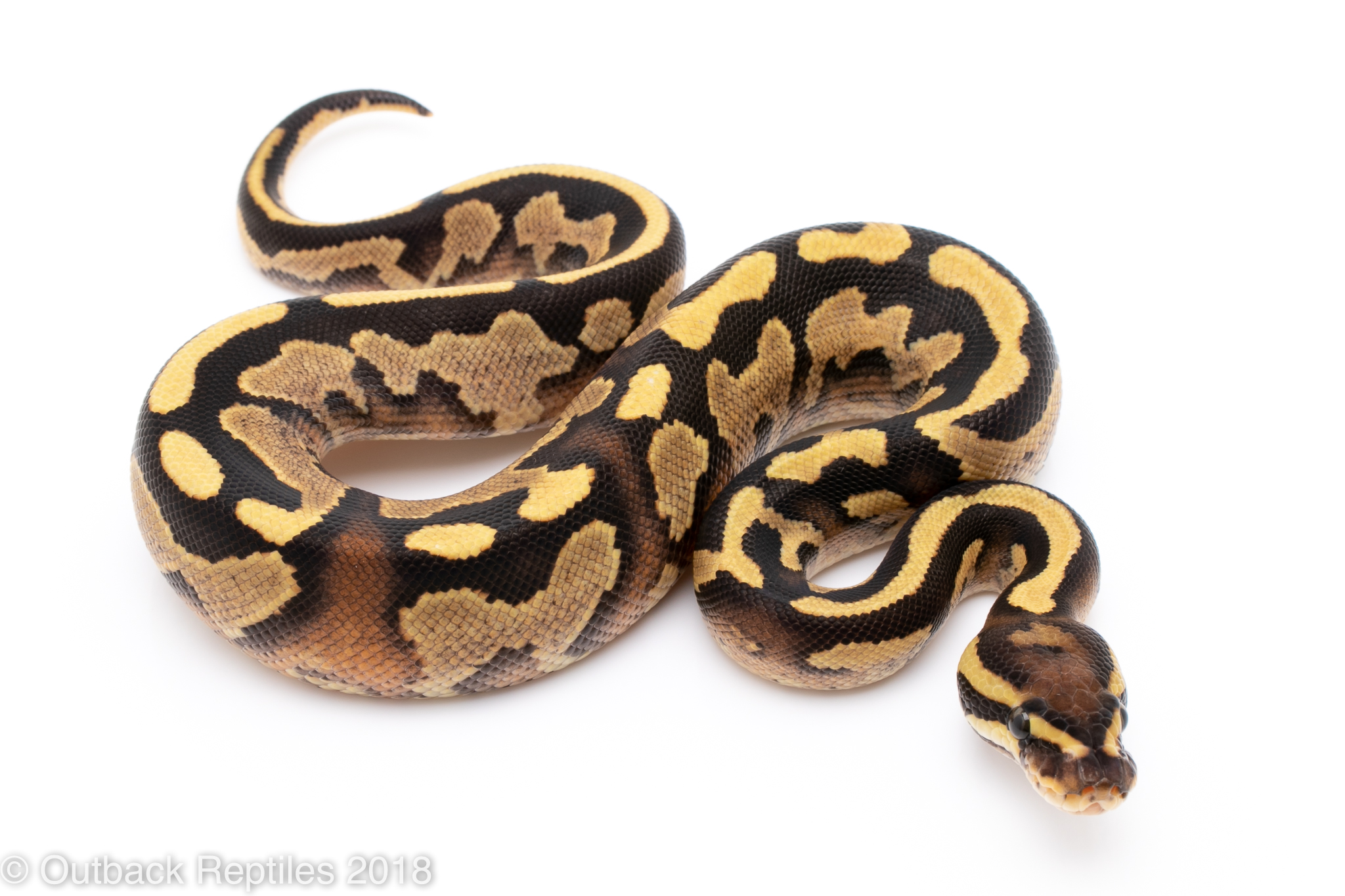 fire yellowbelly ball python for sale