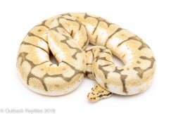 ghost bumblebee ball python for sale