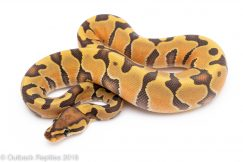 ghost enchi ball python for sale