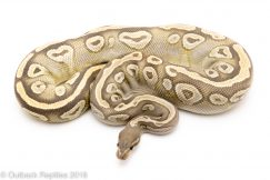 ghost mojave ball python for sale