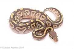 ghost mojave ball python for sale